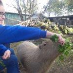 feeding the capybara
