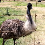 Emu with those gorgeous feathers