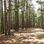 The second part of your walk up will take through this lovely pine forest before you hit the roa