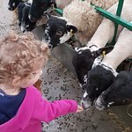 Feeding the sheep - you can buy sheep food when you get into The Big Sheep
