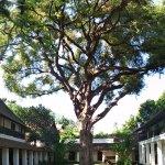 Majestic old Tamarind tree
