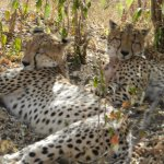 Two cute cheetahs taking a nap and obliging us with close snaps!!