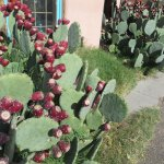 Near the entrance to the Church St Cafe - prickly pear cactus