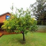 The infamous lemon tree :)