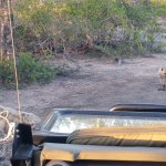 Young spotted hyenas checking out the Land Cruiser.