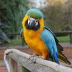 Echo the blue and gold macaw