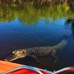 On our trip we saw about 10 alligators! This one came up to visit, and it was great.