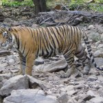 The tiger we saw