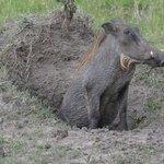 Warthog on his veranda