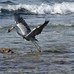 Grey heron taking off with fish.