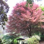 Variegated beech tree by the pond.  Sit awhile and enjoy on view over the pond