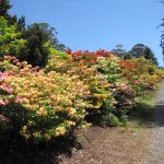 Amazing Rhododenrons