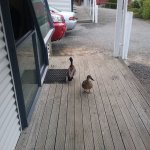 We had a couple visitors to greet us, a mother duchess and her 5 ducklings, when we left these t