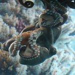 Amorous Octopus