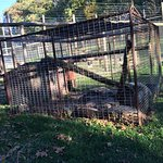 bobcat is kept alone in a tiny cage