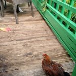 Wild chickens roaming but not intrusive and restaurant was clean