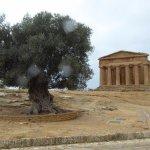 avec l'olivier de 500 ans