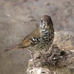 Spot-winged Thrush at the hotel dining area