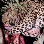 Gamedrive bis in die Nacht. Leopard mit Fang auf dem Baum.