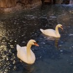 swans in pond in courtyard