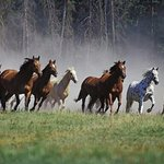 Greenhorn Ranch's Running of the Horses