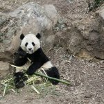 Giant Panda at the Zoo