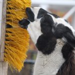 """Llama """"brushing"""" his teeth in the barnyard area"""