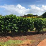 Photo of Kauai Coffee Company