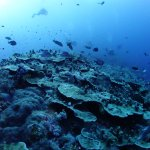 Diving at the characteristic submerged northern tip of Elphinstone Reef October 17 2017.