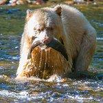 Spirit Bear catching a salmon