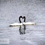 Black-neck Swans courting in the cove behind the hotel