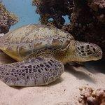 Green sea turtle resting in the sand Marsa Shouna, Egypt.