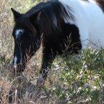 Chincoteague National Wildlife Reserve wild pony
