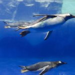 Check out the Gentoo penguins!