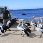 Andrew feeding the pelicans