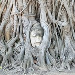 Buddha tree at Wat Mahathat