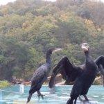 Ballet des cormorans