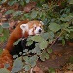 Panda rouge curieux
