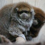 Petits singes (ouistitis?)