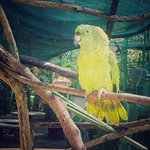 The beautiful Julieta one of our yellow naped amazon parrots.