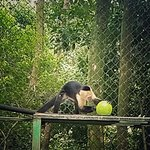 White faced capuchin monkey with a brand new feeding toy.