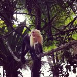 A wild capuchin comes for a visit.