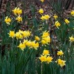 Spring Dafodills