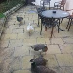 An invasion of peacocks on our patio