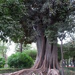 Great root system on this giant tree in the Murillo Gardens