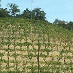 Pine Ridge hillside - pre harvest