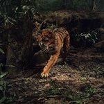 Local Tiger!