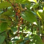 Photo of Ranweli Spice Garden
