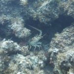 Lobster - Smith Reef
