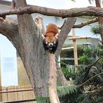 Red Panda- cutest animal on the earth inside the River Safari, Singapore.